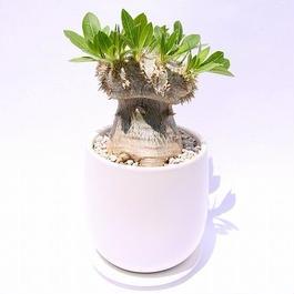 パキポディウム 恵比寿笑い ブレビカウレ 接ぎ木