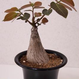 フィランサス ミラビリス Phyllanthus mirabilis