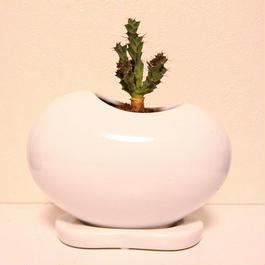 ユーフォルビア グロエネワルディー Euphorbia groenewaldii