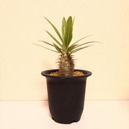 パキポディウム ロスラーツム Pachypodium rosulatum no.2