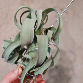 Tillandsia curlyslim  チランジア カーリースリム Lサイズ