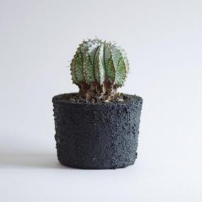 ユーフォルビア ゼブラホリダ Euphorbia horrida