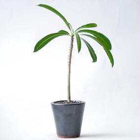 パキポディウム ルテンベルギアナム Pachypodium rutenbergianum