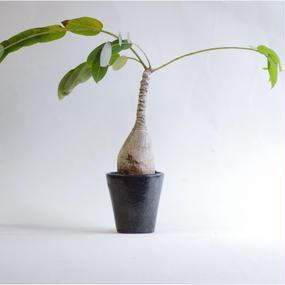 ファランサス ミラビリスPhyllanthus mirabilis