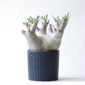 パキポディウム イノピナツム Pachypodium roslatum var.inopinatum