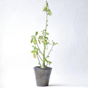 ドルステニア カルノーサ Dorstenia carnosa