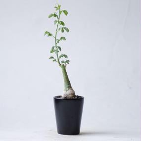 アデニア グラウカ Adenia glauca