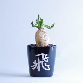 飛竜 Euphorbia stellata