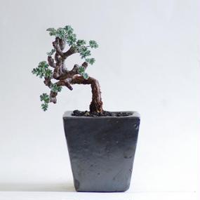 ペラルゴニウム ミラビレ Pelargonium mirabile
