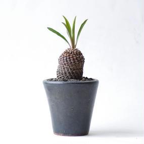 ユーフォルビア ブプレウリフォリア 鉄甲丸 Euphorbia bupleuriforia