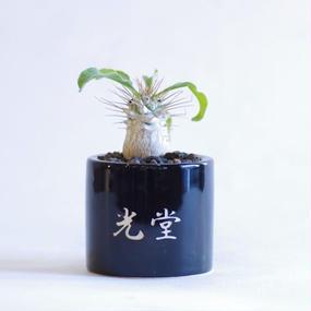 パキポディウム ナマクアナム 光堂 Pachypodium namaquanum