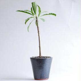 パキポディウム ルーテンベルギアナム Pachypodium rutenbergianum