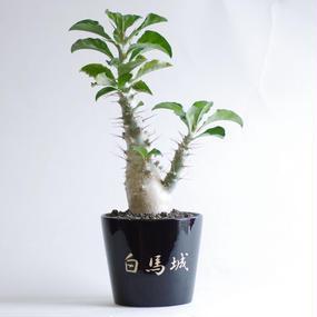 パキポディウム サウンデルシー 白馬城 Pachypodium saundersii