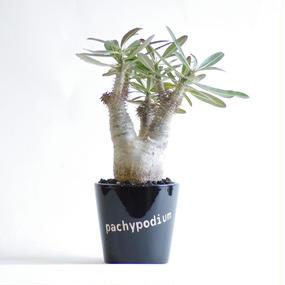 パキポディウム カクチペス Pachypodium rosulatum var. cactipes