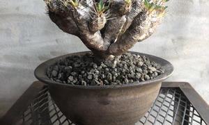 codex 塊根植物