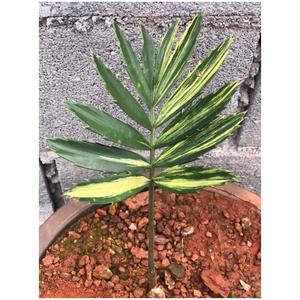 Encephalartos Lebomboensis Varigated