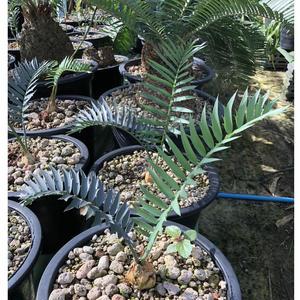Encephalartos Trispinosus 3plants 〜