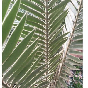 Encephalartos Heenanii