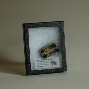Fossil Mammoth Tooth
