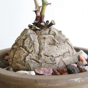 ディオスコレア   亀甲竜   no.009  W6.5cm   Dioscorea elephantipe