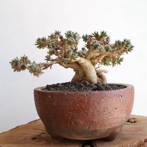 トリコディアデマ     デンスム   紫星晃    no.002   Trichodiadema densum