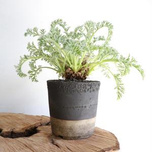ペラルゴニウム   アッペンディクラツム  no.003  Pelargonium appendiculatum
