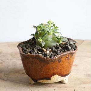 ドルステニア   ヒルデブランドティー f. クリスプム   Dorstenia hildebrandtii f. crispum
