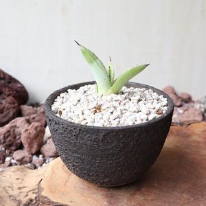 アガベ    マクロアカンサ   no.001  Agave macroacantha