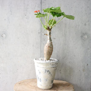ヤトロファ  サンゴアブラギリ   no.001   Jatropha podagrica