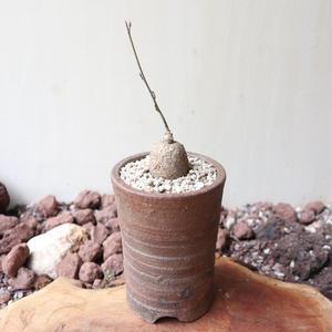 アデニア   ステノダクティラ   no.001   stenodactyla miombo form