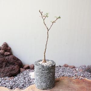 パキコルムス ディスカラー  (象の木)   no.004   Pachycormus discolor