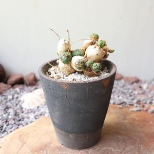 ユーフォルビア グロボーサ  no.008     Euphorbia globosa