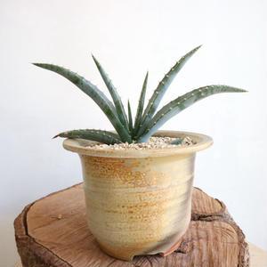 アロエ スプラフォリアータ   no.002   Aloe suprafoliata