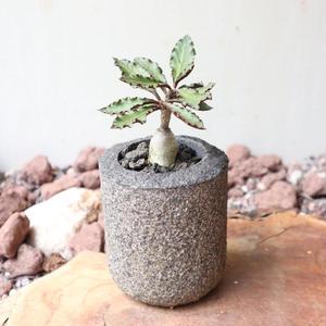 ユーフォルビア アンボボベンシス    no.006   Euphorbia ambovombensis