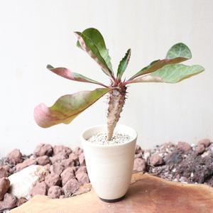 ユーフォルビア   イハラナエ  no.005  Euphorbia iharanae