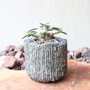 ユーフォルビア キリンドフォリア no.004   Euphorbia cylindrifolia