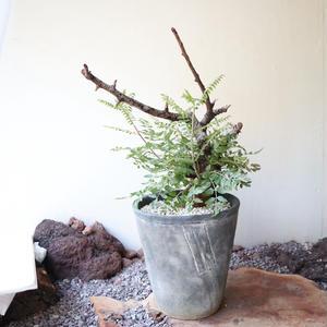 ボスウェリア  ネグレクタ    no.010   Boswellia neglecta