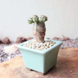 ユーフォルビア  オベサ 梵天   no.046   Euphorbia 'Obesa Bonten'