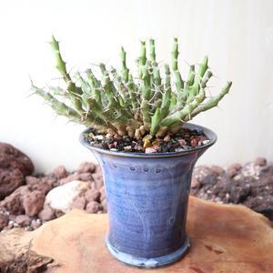ユーフォルビア    ライキピエンシス   Euphorbia laikipiensis