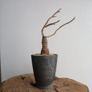 オトンナ   レトロフラクタ  no.001  Othonna retrofracta