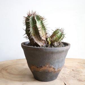 ユーフォルビア  ホリダ  no.005   Euphorbia  horrida
