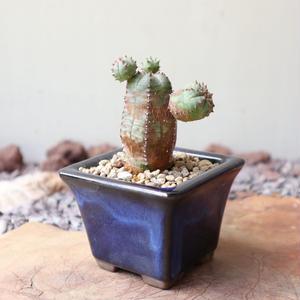 ユーフォルビア  オベサ 梵天   no.044   Euphorbia 'Obesa Bonten'