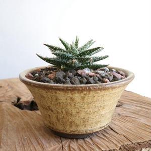 アロエ    ディスコイングシー   no.001    Aloe descoingsii