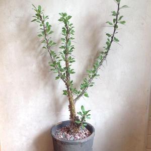 フォークイエリア   マクドガリー  no.02    Fouquieria   macdougalii