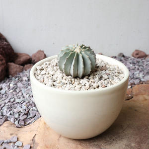 ゲオヒントニア    メキシカーナ  no.005  Geohintonia mexicana