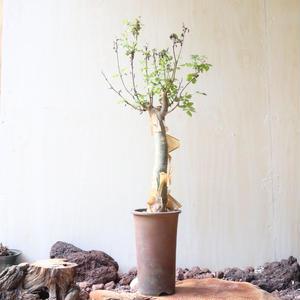 ブルセラ   ファガロイデス  no.004     Bursera fagaroides