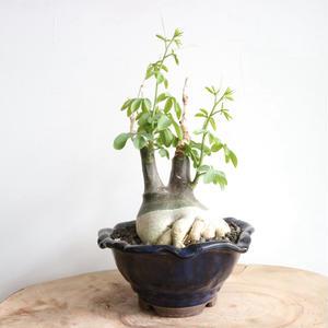アデニア   グラウカ  no.005   Adenia glauca