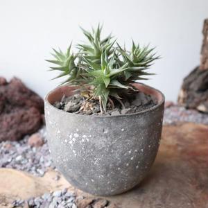 Deuterocohnia  lorentziana     ×   大森 健司