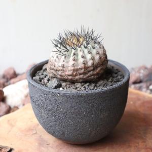 コピアポア   竜爪丸no.002  Copiapoa coquimbana