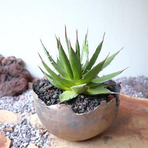 """アガベ ホリダ(ギルベイ)   no.004  Agave horrida ssp. horrida """"gilbeyi"""""""